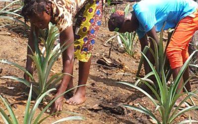 Une nouvelle ressource d'ananas