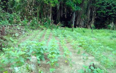 Plantation de soja et piments